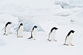 Adélie penguins Pygoscelis adeliae in snow storm at breeding colony at Brown Bluff on the eastern side of the Antarctic Peninsula, Antarctica