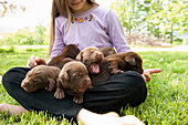 Adolescent holding puppies. 3 week old labrador retriever puppies sitting in lap of adolescent girl who is caring for them on lawn