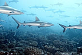 White tip reef shark swimming in coral. White tip reef shark swimming in coral