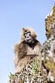 Gelada, Gelada Baboon or Ethiopian Lion Theropithecus gelada in the Simien Mountains National Park in Ethiopia  Geladas are an endemic primate species living in Ethiopia  Portrait of an adult male  Living in the high mountain environment of the Ethiopian