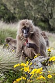 Gelada, Gelada Baboon or Ethiopian Lion Theropithecus gelada in the Simien Mountains National Park in Ethiopia  Geladas are an endemic primate species living in Ethiopia  Portrait amidst the yellow meskal flower  Living in the high mountain environment of