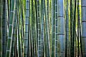 Bamboo, Zen monastery garden, Kamakura, Hokoku-ji, Japan