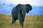 African Elephant Loxodonta africana, Queen Elizabeth National Park, Uganda, East Africa