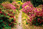 Footpath with azaleas of mixed colors  Furnas, Sao Miguel island, Azores islands, Portugal