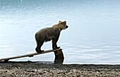 USA, Alaska, Katmai National Park, Brooks Camp, Brown Bear on float plane ramp looking over Nak Nak Lake