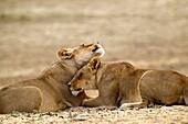 African Lions Panthera leo - Females, Kgalagadi Transfrontier Park, Kalahari desert, South Africa
