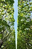 Abstrakt, Aussen, Baldachin, Baum, Blau, Blauer Himmel, Farbe, Froschperspektive, Gestalt, Grün, Himmel, Konzept, Natur, Niemand, Perspektive, Symmetrie, Tag, Vertikal, XS5-1108452, AGEFOTOSTOCK