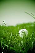 Dandelion growing in grassland