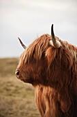Portrait of Scottish Highland Cow