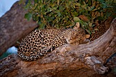 African Leopard Panthera Pardus Pardus  Near Threatened, population decreasing   Mashatu Game Reserve  Tuli block, Botswana  November 2010