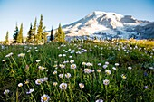 Wildflower Meadow at Paradise, Mount Rainier National Park, Early Morning