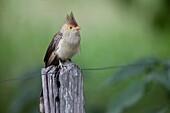Guira Cuckoo Guira guira sitting on post of a fence, Pantanal, Brazil