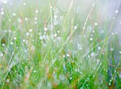 Makro shot of grass with early morning dew. Shallow DOF.