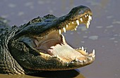 AMERICAN ALLIGATOR alligator mississipiensis, ADULT WITH OPENED MOUTH