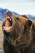 KODIAK BEAR ursus arctos middendorffi, ADULT THREATENING WITH OPEN MOUTH, ALASKA