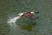 BALD EAGLE haliaeetus leucocephalus, JUVENILE FISHING IN LAKE