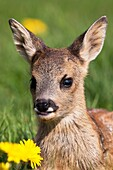 Roe Deer, capreolus capreolus, Portrait of Foan with Flowers, Normandy