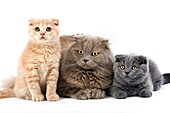 LILAC SELF HIGHLAND FOLD FEMALE WITH BLUE AND CREAM SCOTTISH FOLD KITTENS