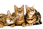BROWN SPOTTED TABBY WITH BROWN MARBLED TABBY BENGAL DOMESTIC CAT