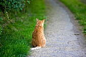 RED TABBY DOMESTIC CAT, MALE SITTING ON PATH