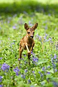 ROE DEER capreolus capreolus, FAWN WITH FLOWERS, NORMANDY