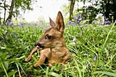 Roe Deer, capreolus capreolus, Fawn Laying in Flowers, Normandy