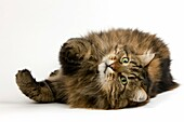 Angora Domestic Cat, Male Laying Down against White Background