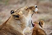 African Lion, panthera leo, Female Yawning, Masai Mara Park in Kenya
