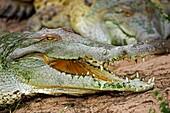 Orinoco Crocodile, crocodylus intermedius, Head of Adult with Open Mouth, Los Lianos in Venezuela