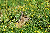 ROE DEER capreolus capreolus, FAWN LAYING DOWN WITH YELLOW FLOWERS, NORMANDY IN FRANCE