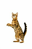 BROWN SPOTTED TABBY BENGAL DOMESTIC CAT, ADULT STANDING ON HIND LEGS