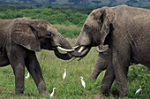 AFRICAN ELEPHANT loxodonta africana, ADULT AND YOUNG PLAYING, CATTLE EGRETS, KENYA