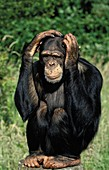 CHIMPANZEE pan troglodytes, ADULT WITH FUNNY FACE, SCRATCHING ITS HEAD