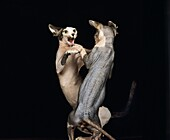 SPHYNX DOMESTIC CAT, CAT BREED WITH NO HAIR, PAIR FIGHTING