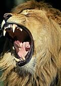 AFRICAN LION panthera leo, PORTRAIT OF MALE ROARING