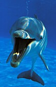 BOTTLENOSE DOLPHIN tursiops truncatus, ADULT WITH OPEN MOUTH, UNDERWATER VIEW