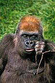 EASTERN LOWLAND GORILLA gorilla gorilla graueri, FEMALE WITH A FUNNY FACE