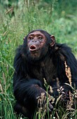 CHIMPANZEE pan troglodytes, FEMALE CALLING OUT WITH A FUNNY FACE