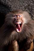 Screaming Hamadryas baboon