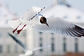 A Black-headed Gull Chroicocephalus ridibundus caught in mid flight at Nymphenburg palace in Munich, Germany