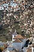 Busquístar Church, and almond trees in bloom  Alpujarra, Granada, Andalusia, Spain