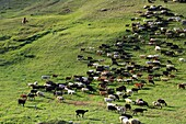 A flock of sheep grazing on a Jailoo - typical Kirghiz meadow on which livestock is raised