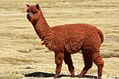 Alpaca in the vicinity of Parinacota village in Chile