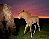Icelandic foal and mare with midnight sun, Iceland