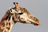 Giraffes are browsers, they avoid grass and concentrate on leaves  Their long legs and neck give them an edge over other animals, as they can reach to a food niche unavailable to other animals  They love acacia leaves which are surrounded by sharp thorns