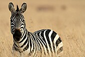 Each Zebra has a unique stripe pattern  A young Zebra can thus easily identify its mother
