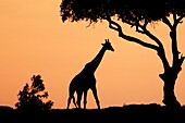 The tallest animal in the world which browses on tree leaves and twigs  At sunrise the silouhette of the giraffe against the red and orange sky looks very appealing