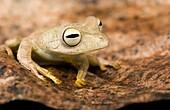 Close-up of tree frog on leaf - Yasuni National Park, Napo Province, Ecuador
