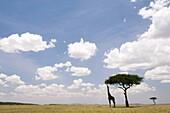 Masai Giraffe feeding on Acacia Tree in vast Mara landscape - Masai Mara National Reserve, Kenya