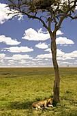 Lion sleeping under lone tree - Masai Mara National Reserve, Kenya